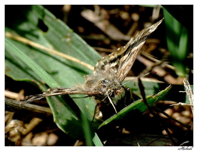 Photos sortie sur Perpignan du 11/06/2009 Papillonraho4