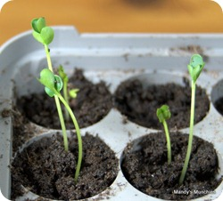 07-03 Broccoli sprouted
