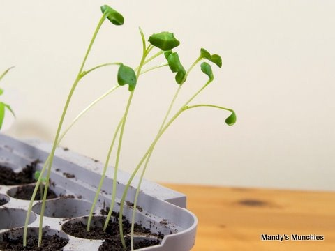 [21-03 sprouting broccoli.jpg]