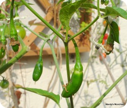 Chillies19Sept