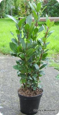 16-04 Bay tree