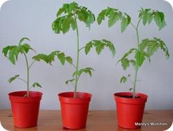 01-05 Tomatoes