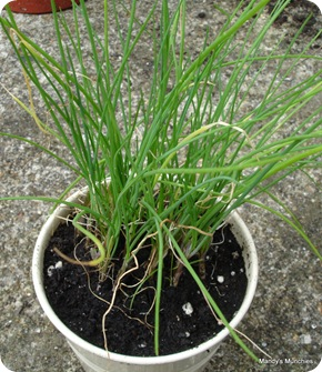 Chives 15 Aug