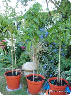 06-07 tomatoes