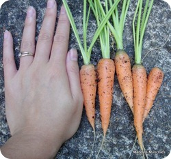 15-07 first harvest of carrots