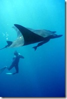 Giant_pacific_manta