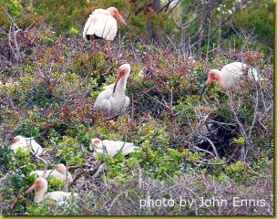 battery island ibis rookery john ennis_300
