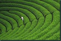 Tea_Field