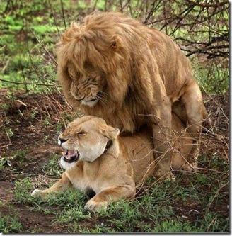 apareamiento leon