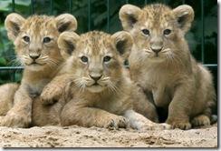 cachorros leon