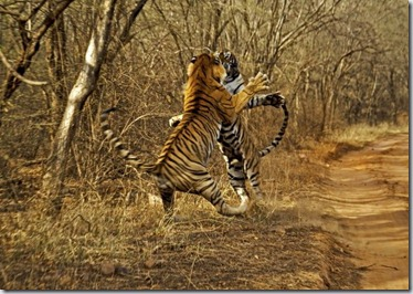 tigres-foto-saltando-lucha