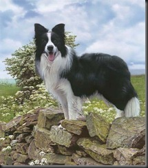 townsend-trooper-border-collie