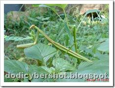 one eye praying mantis 04