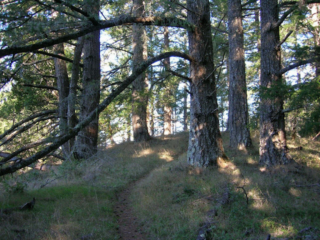 Open douglas fir forest on the Coyote Ridge Trail