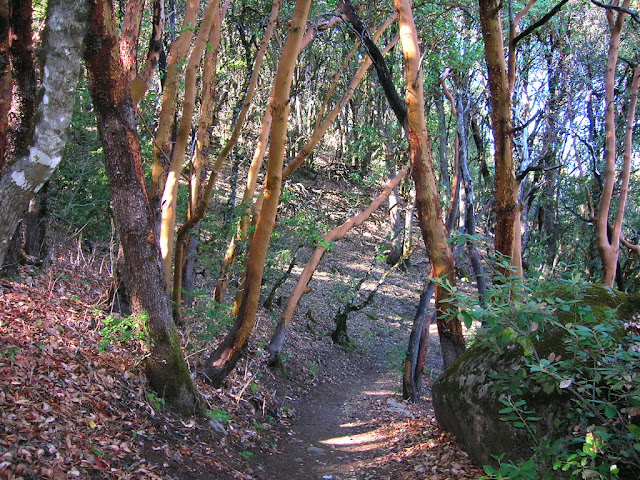 Madrone forest at Castle Rock SP