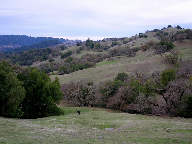 Rolling hills and oaks, a very Californian scene! 