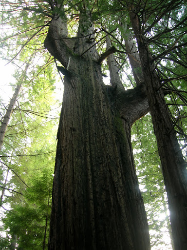 Stately old growth redwood