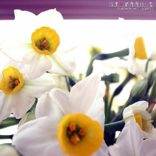 春花之紫仙.jpg
