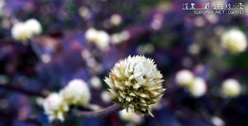 春花之阿紫和小白.jpg