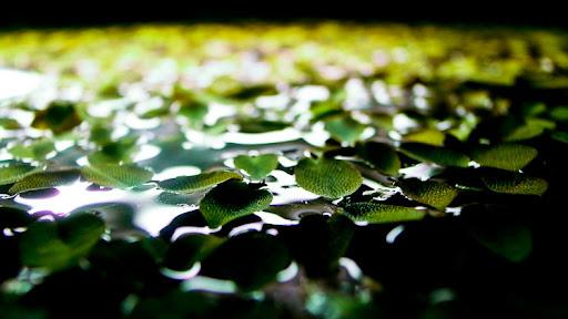 在水缸里也要长出乘风破浪的气势,槐叶萍。