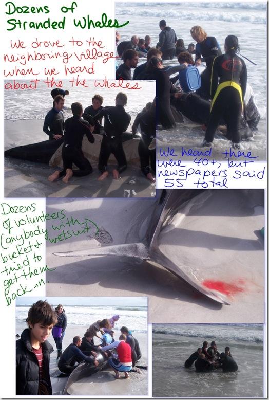 Kommetjie whales