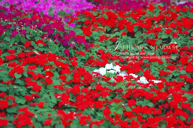 ดอกไม้เมืองหนาว ที่จิมทอมสันฟาร์ม
