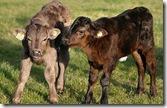 calves-460_1373344c