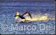 Cigno_lago_Varese