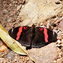 Red-banded Adelpha