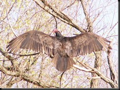 Turkey Vulture, Hueston Woods, 22 Apr 06