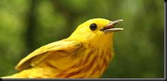 Yellow Warbler, Male, HWBS, 9 May 07