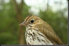 Ovenbird, MUBO, 28 Apr 07