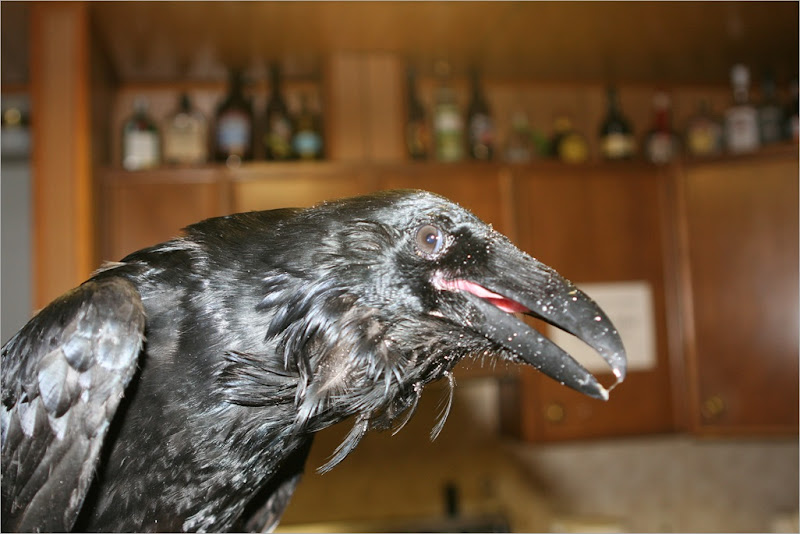 Common Raven. My roommate found this Raven in our garbage struggling to get out. It had somehow gotten hurt in the can and we tried to rehab it but unfortunately it did not make it. A sad day.