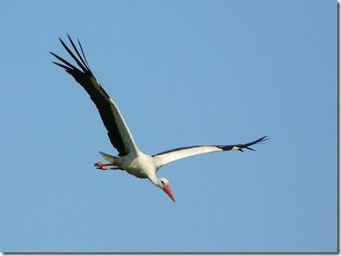 White_Stork_Glider