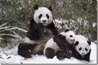foto panda lucu