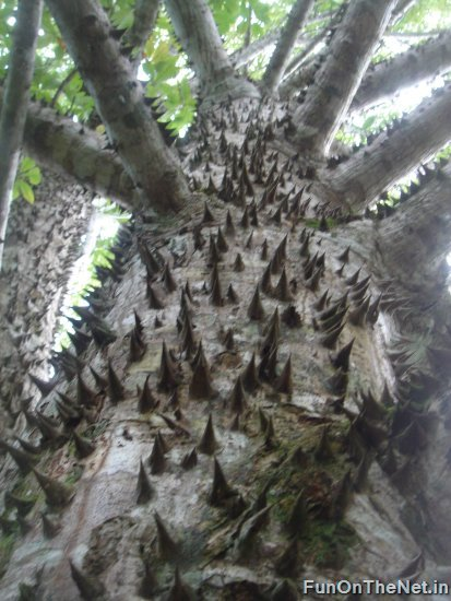 Thorniest Trees