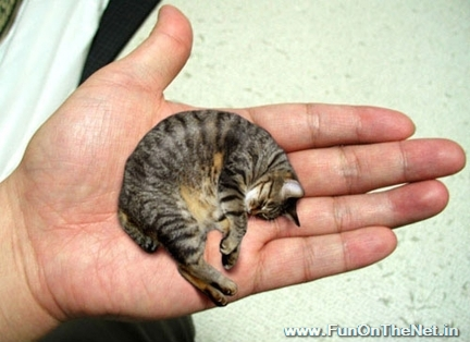 Biggest Cat In The World Guinness 2012 10 of the world's smallest animals - funonthenet