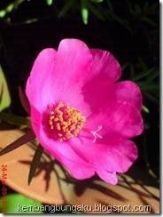 Portulaca grandiflora Hook 4542
