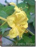 bunga pukul 4 kuning 2281