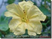 bunga pukul 4 kuning 2817