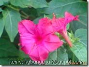 bunga pukul 4 merah 3368