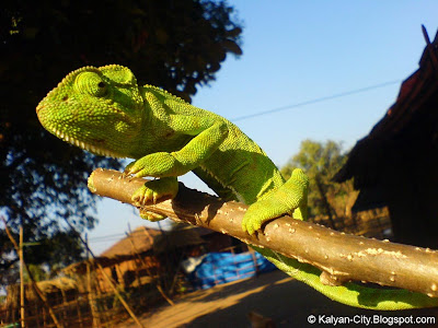 Chameleon on Stick