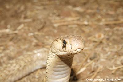 Baby Indian Cobra