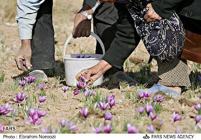 Plucking Saffron Kesar Flowers