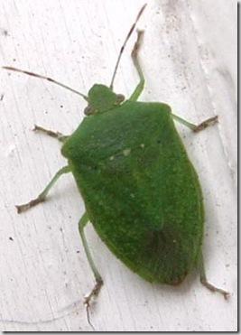 Tgpet le cimici verdi for Cimice insetto