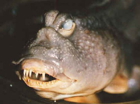 Kumpulan Foto Ikan Yang Besar, Aneh, Lucu dan Unik