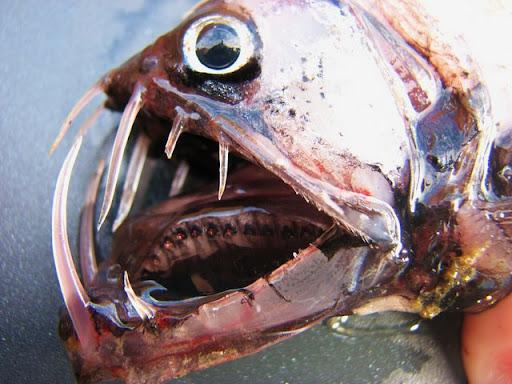 Viperfish 1