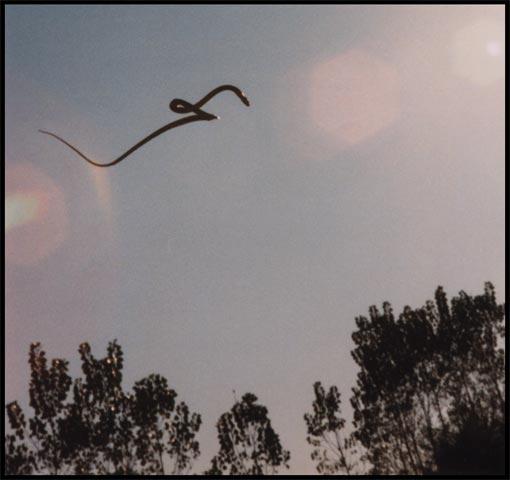 Ada Ular Terbang [ www.BlogApaAja.com ]