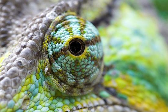 chameleon-eye.jpg