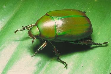 Green-Scarab-Beetle-2770.jpg